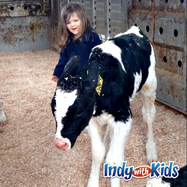 baby calf at homestead dairy indiana milk mom cow